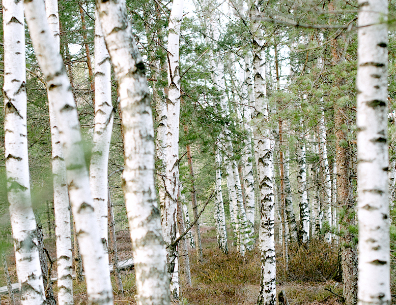 Birch_778x601